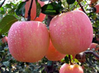 咸阳地方特产之淳化苹果