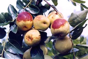 咸阳地方特产之梨枣、雪枣