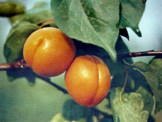 大荔县特产:红杏