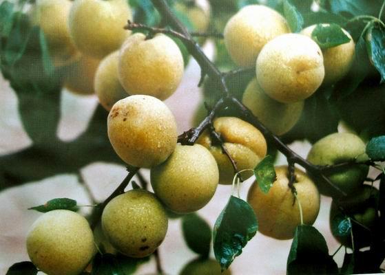 大荔县特产:脆甜酥梨