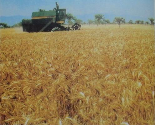 大荔县特产:优质小麦