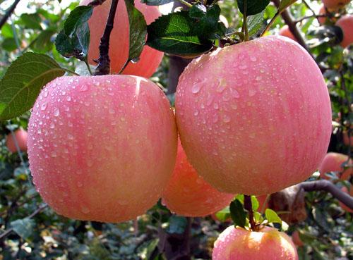 彬县特产:红富士苹果