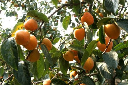 彬县特产:柿子
