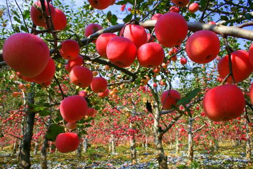 黄龙 玉米 黄龙 板栗 黄龙 苹果 黄龙 花椒 黄龙 核桃