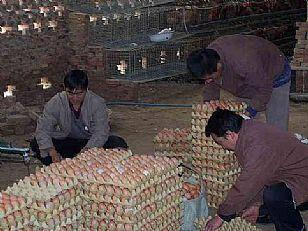 甘泉县地方特产:大棚鸡蛋