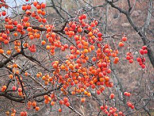 洛南县自然风光:金秋――火红的柿子