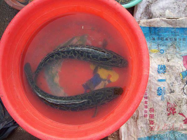合阳县美食:红烧黑乌鲤
