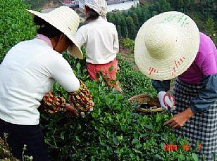 安康市地方特产:紫阳茶