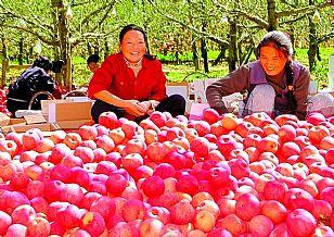 延安市地方特产:苹果-黄陵