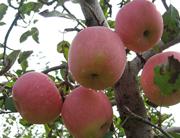 乾县富硒苹果
