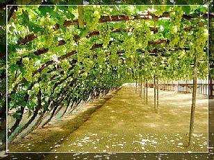 长武县红提葡萄园