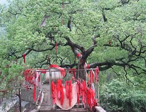 白河麻虎冬青树