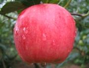 富平嘎拉苹果