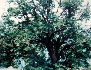 宜君娑罗古树