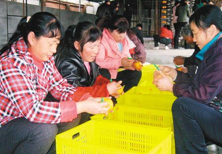 眉县 建柿饼厂消化全县70%产量[图]