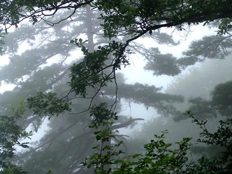 少华山雾松[图]