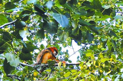 陕西城固县首现国家一级保护野生动物金丝猴[图]