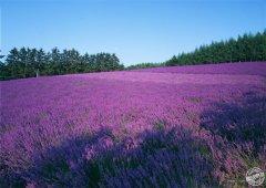 2015西安自驾游护照四川景区:普罗旺斯国际薰衣草庄园